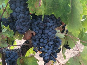 Zinfandel grapes ready for harvest