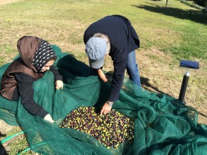 A tree's olives are gathered in the net and moved to a crate.