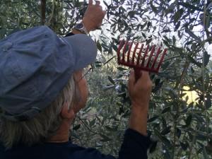 Steve 'rakes' olives from branch into net.