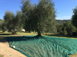 Olive tree ready to harvest.The net catches the olives.